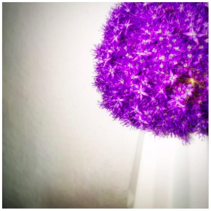 Allium Giganteum - Blumenliebe im Großformat